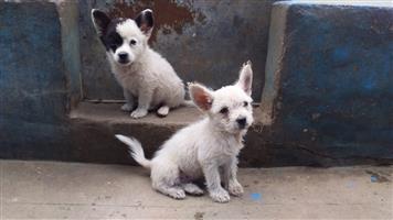Toypom Cross Maltese male puppies
