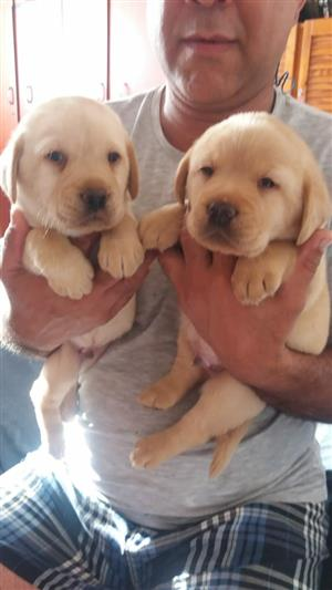 golden labrador pups