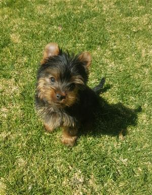 Small miniature size Yorkie puppy