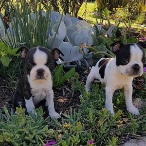 Boston terrier babies