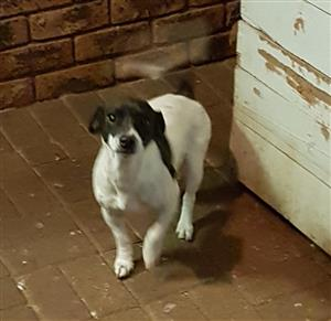 Jack Russel Terrier, to good home.