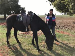 Friesian and others for sale