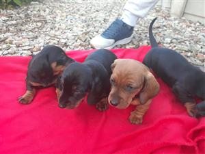 mini dachshund puppies
