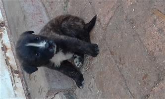 Labrador cross English Buldog pups
