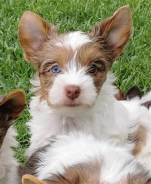 Female Blue diamond Chocoberry Yorkie puppy