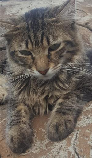 MISSING SMALL NEUTERED TABBY MALE...REWARD OFFERED