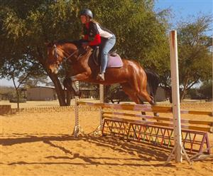 Winning Friesian x TB competition mare for sale