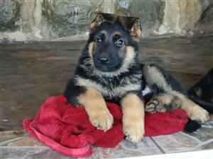 Super Puppies: GSD Federation of SA Registered