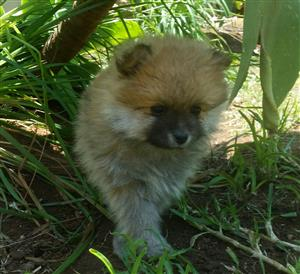 One Beautiful Pure Bred Pomeranian Puppy left, also called Toy Poms available to a good home