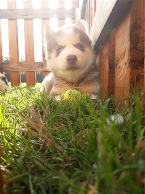4 x Stunning Siberian Husky Puppies available