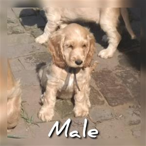 Pure Bred English Cocker Spaniel Puppies For Sale
