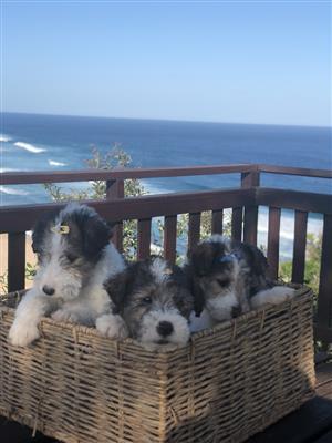 Wire fox terrier pups
