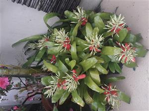 Bromeliad plants for sale