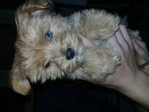 Red Merle Yorkie pups
