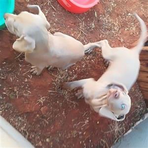 weimaraner pups