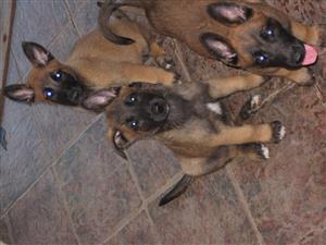 Male Malinois puppies