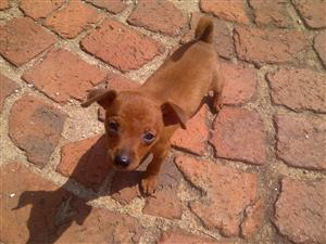 Lovely Purebred Miniature Pinscher Puppies .