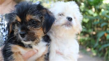 Yorkshire x Shih tzu Puppies