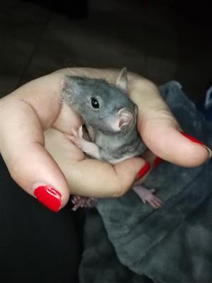 Hairless pet rats