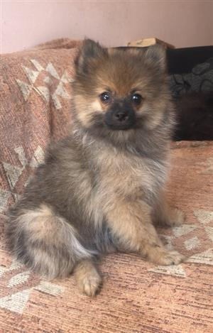 Miniature toy pom puppy (Pomeranian)