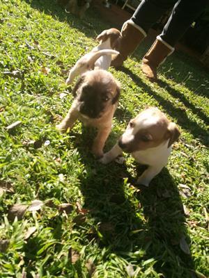 Jack Russel cross Russel terrier puppies