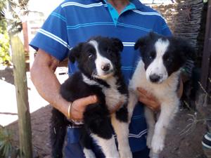 Border collie puppy's