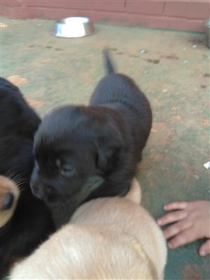 Male and Female Black Labradors Puppies for Sale