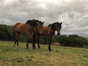 Horses for sale (Tzaneen)
