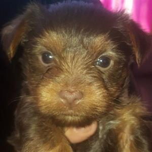 2 Cute Female Choclate Yorkies