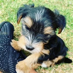 Pedigree miniature Yorkshire terrier Merle male available