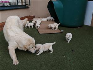 White Retriever Puppies Born 26 Dec 2019