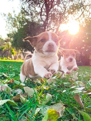 PEDIGREE JACK RUSSELL PUPPIES FOR SALE