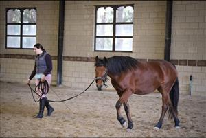 Arab x Boerperd mare for sale