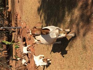 Boer Goat Ram for sale