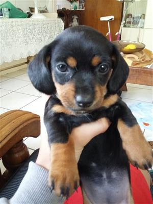 Miniature Dachshund Female