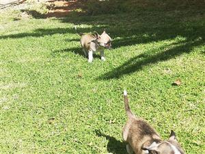 2 Chihuahua reuntjies