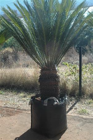 Cycad Cycas Revoluta - Sago Palm