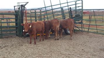 30 x beef cross calves