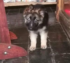 German Shepherd puppies long hair 8 weeks old