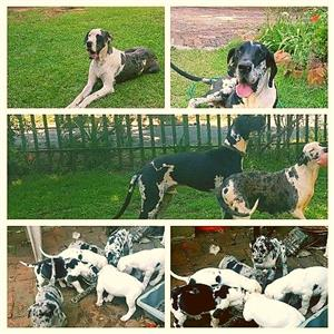 Great dane pupies Pure bred