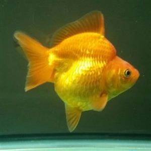 Goldfish Fish Tank Aquarium Ryukin