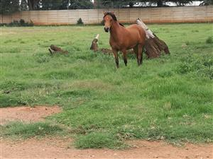 Brown mare for Sale