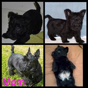 Scotties for sale