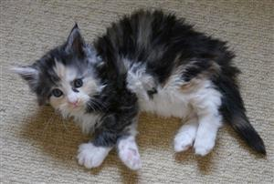 Beautiful Fluffy Full Maine Coons Eight weeks old!!