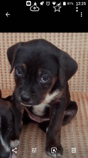 Bargain. Labrador cross Boston Terrier puppies for sale.