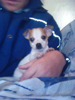 2 x jack-chi's for sale