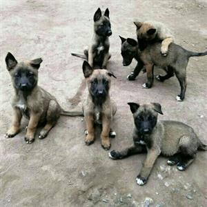 Purebred Belgian shepherds for sale