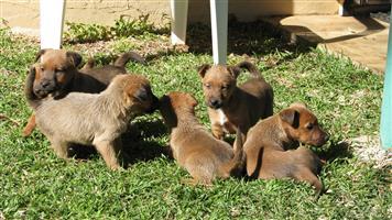 Pedigree Irish Terrier Puppies For Sale