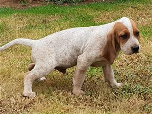 AMERICAN ENGLISH COONHOUND PUPS