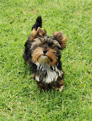 Pocket size Female Yorkie puppy available
